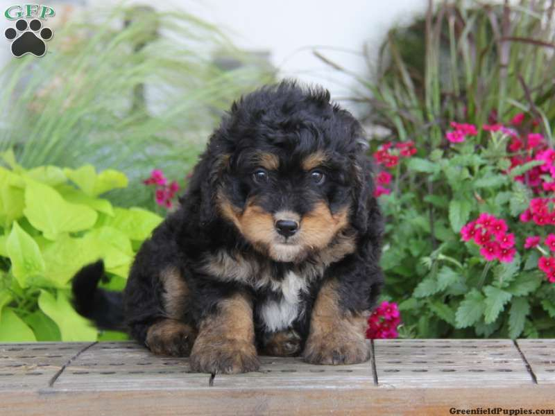 Moe, Mini Bernedoodle puppy for sale in Christiana, Pa