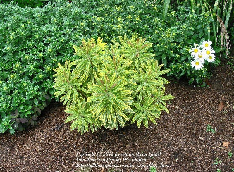 Garden Design Using Euphorbia Ascot Rainbow Google Search Perennial Garden Garden Trees Garden Design