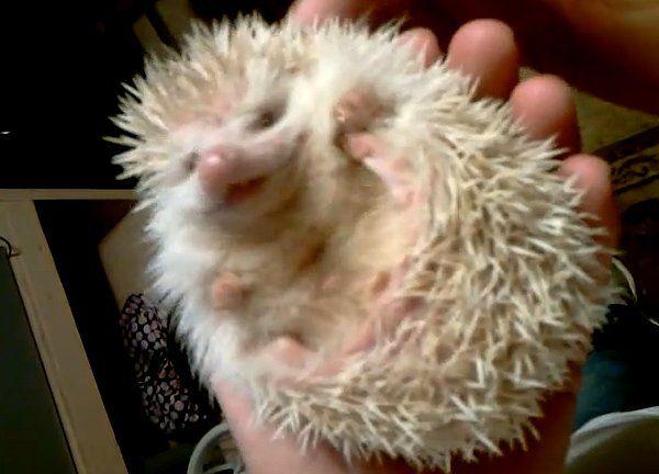 Albino hedgehog | Albino hedgehog, Albino, Hedgehog