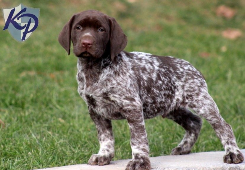 German Shorthaired Pointer Puppies For Sale Uk German Shorthaired Pointer Dog Pointer Puppies German Shorthaired Pointer