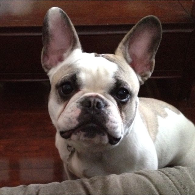Pippa, French Bulldog