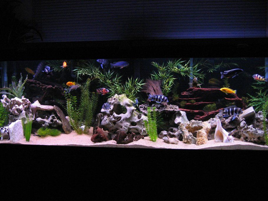 125 gallon african cichlid tank cichlids pinterest for Cichlid fish tank