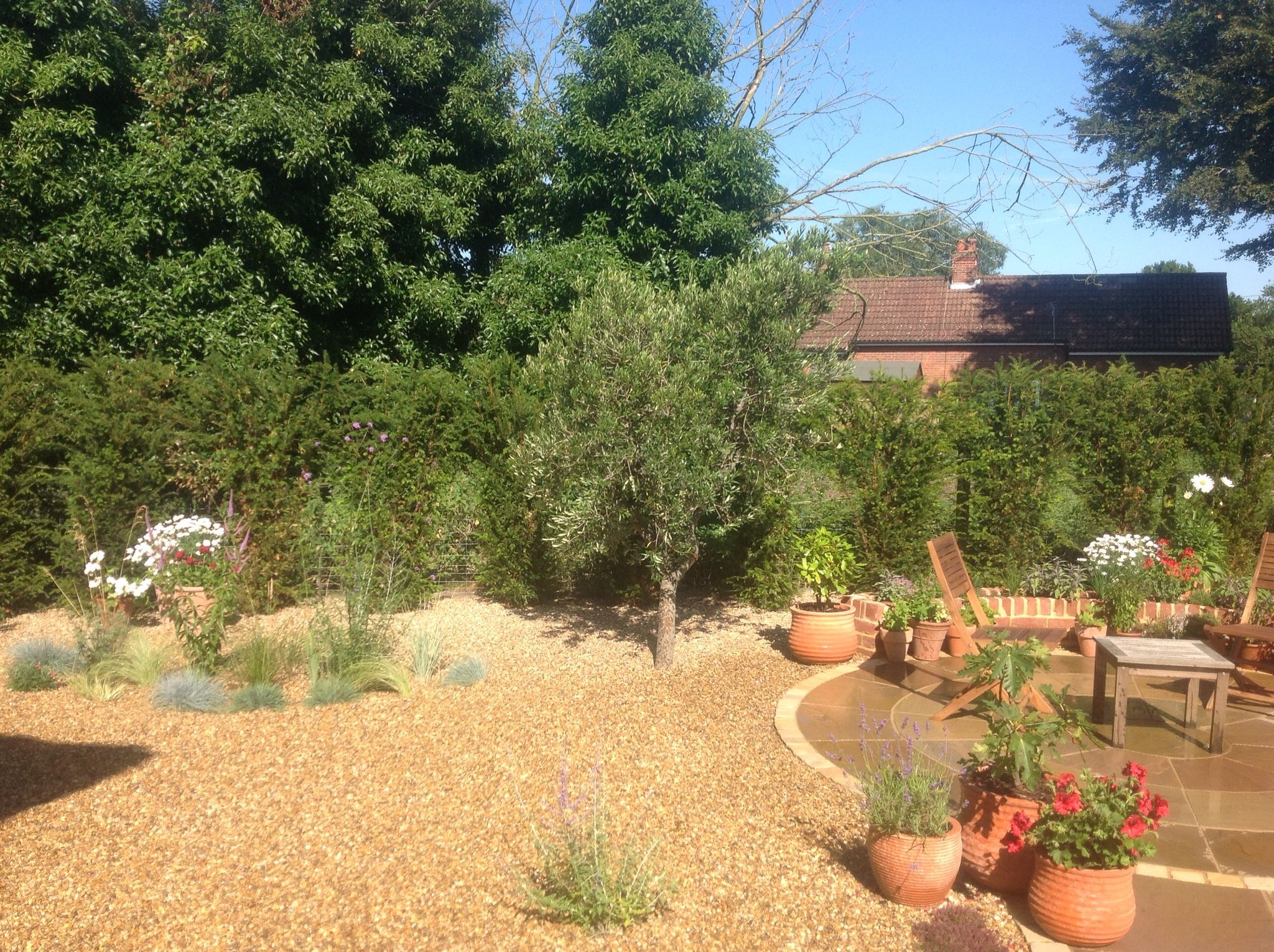 Just planted this lovely Arbequina Olive Tree in a