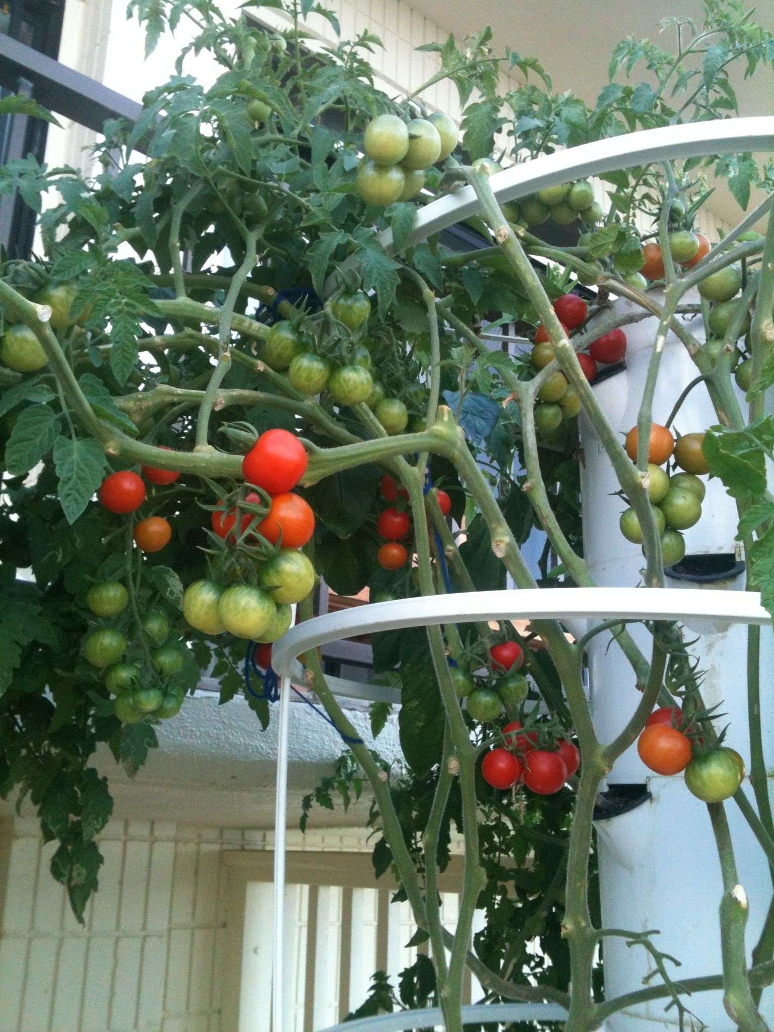 Growing cherry tomatoes in pots - Interested In Growing Food With The Tower Garden Contact Me Cherry Tomato Plants After Pruning Yum
