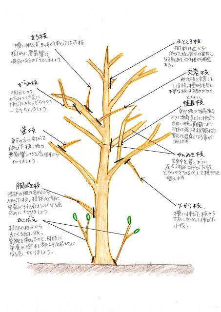 落葉樹の魅力再発見 アオダモを育ててみませんか 庭 手入れ