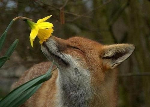 Red Fox stopping to smell the daffodils