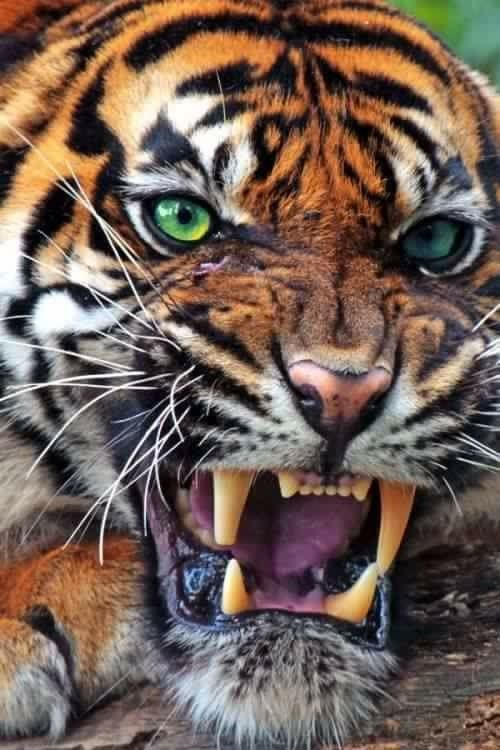 Image result for mean tiger images