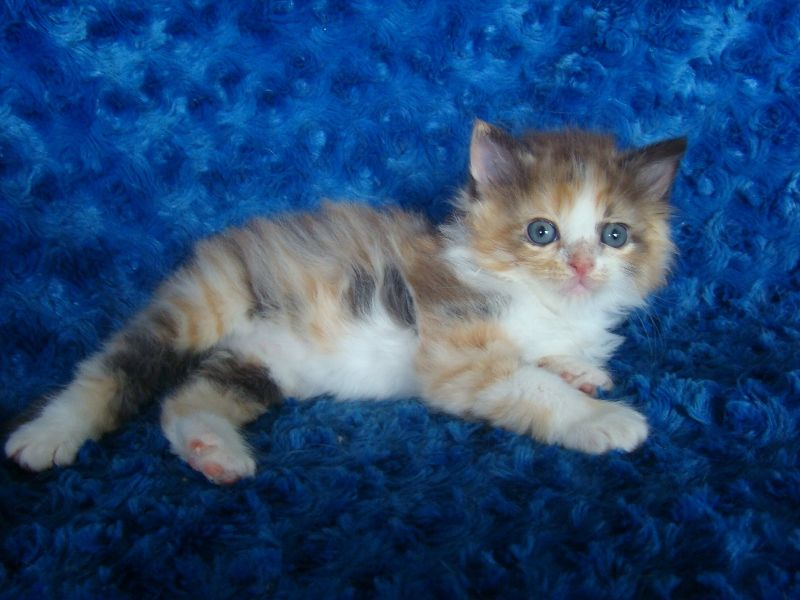 Ragdoll Kittens for Sale - Buy Ragdoll Kittens $2200 today