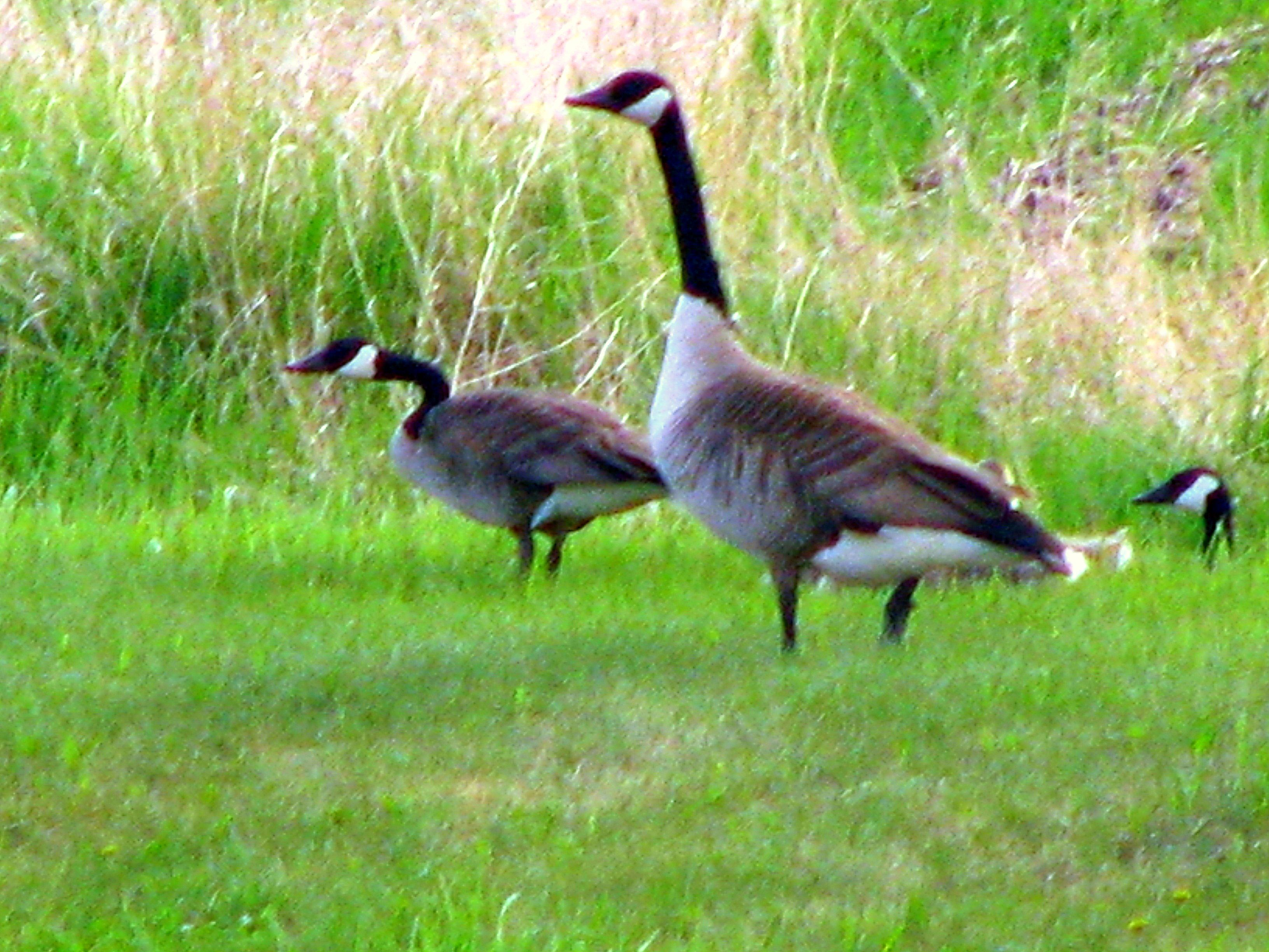 Canada Geese are primarily herbivores but will eat small