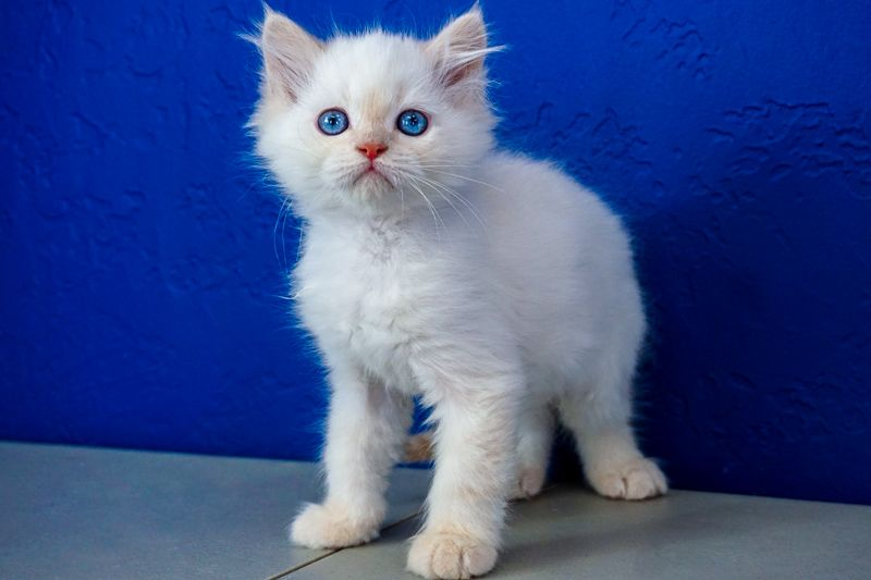 Ragdoll Kittens For Sale Near Me Buy Ragdoll Kitten Kitten For Sale Teacup Kitten Ragdoll Kittens For Sale
