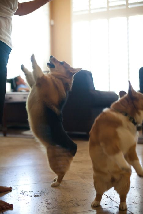 Dance corgis, dance!