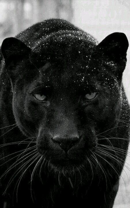 صوره فهد اسود Animals Majestic Animals Animals Beautiful