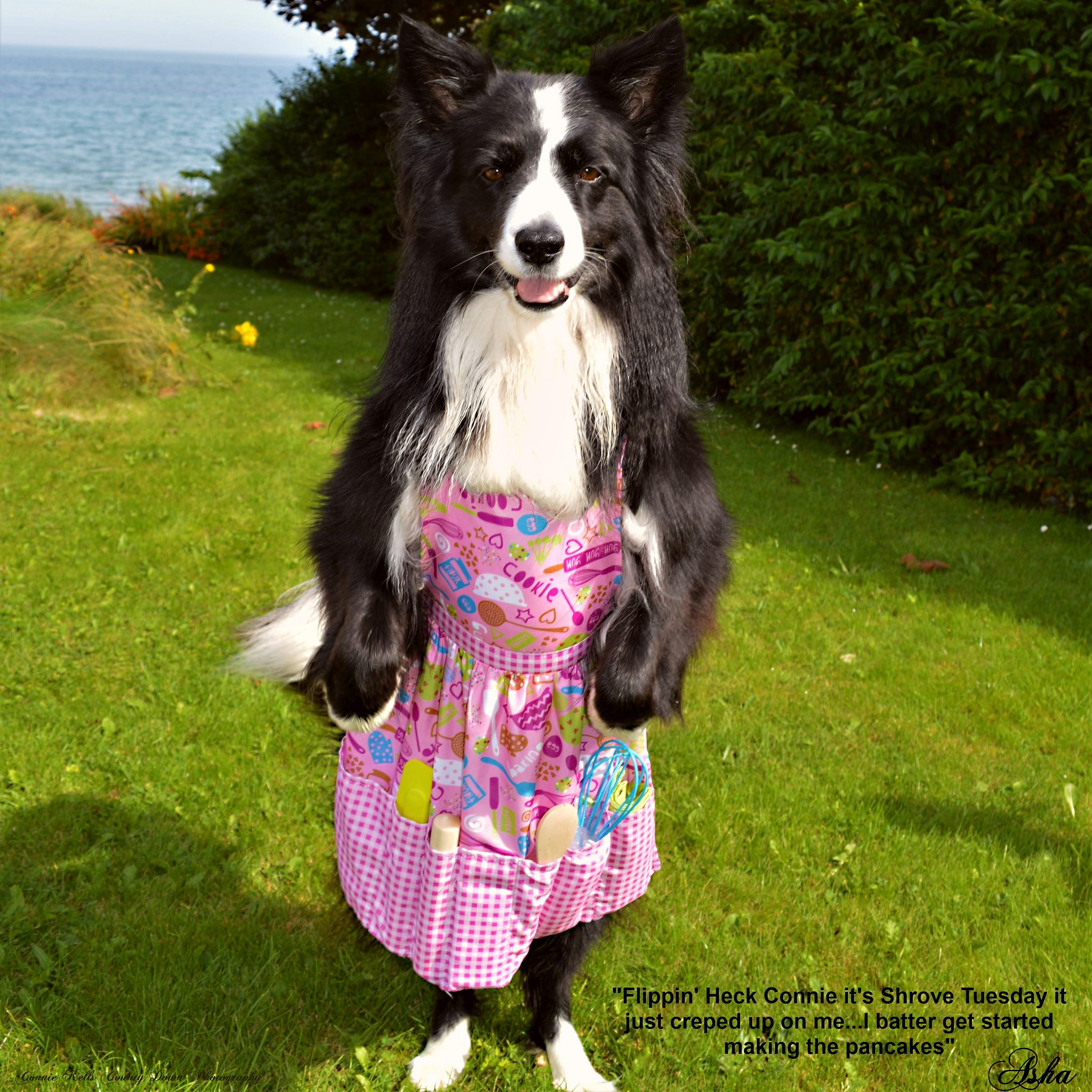 Flippin Heck It S Shrove Tuesday Tuesday Collie Border Collie
