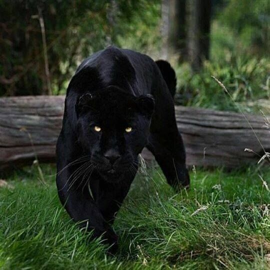 pictures-of-black-panthers-in-georgia