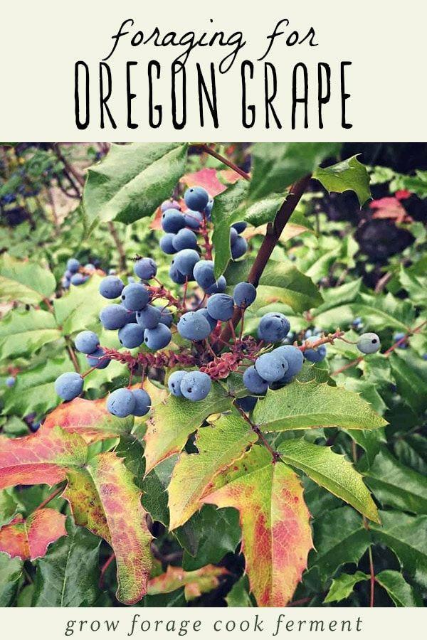 Foraging for Oregon Grape Oregon grape, Wild edibles