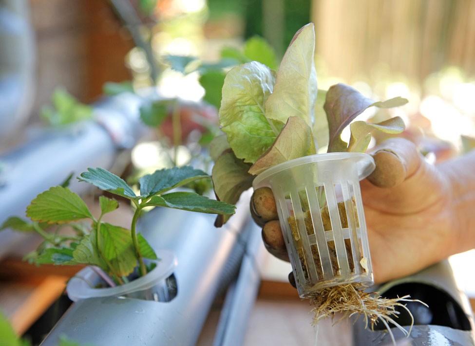 Comment Cultiver En Hydroponie Principes Et Pas A Pas Cultiver