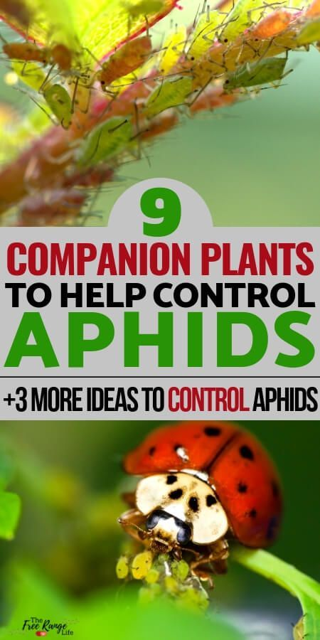 How to Control Aphids 9 Companion Plants That Repel Aphids How to Control Aphids 9 Companion Plants That Repel Aphids