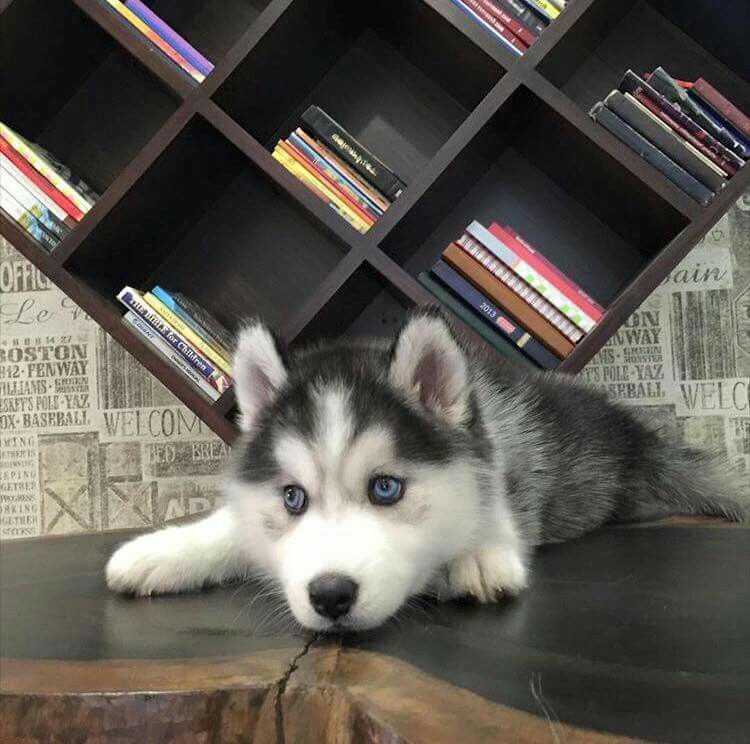 Ahhh! Soo Cute husky:)