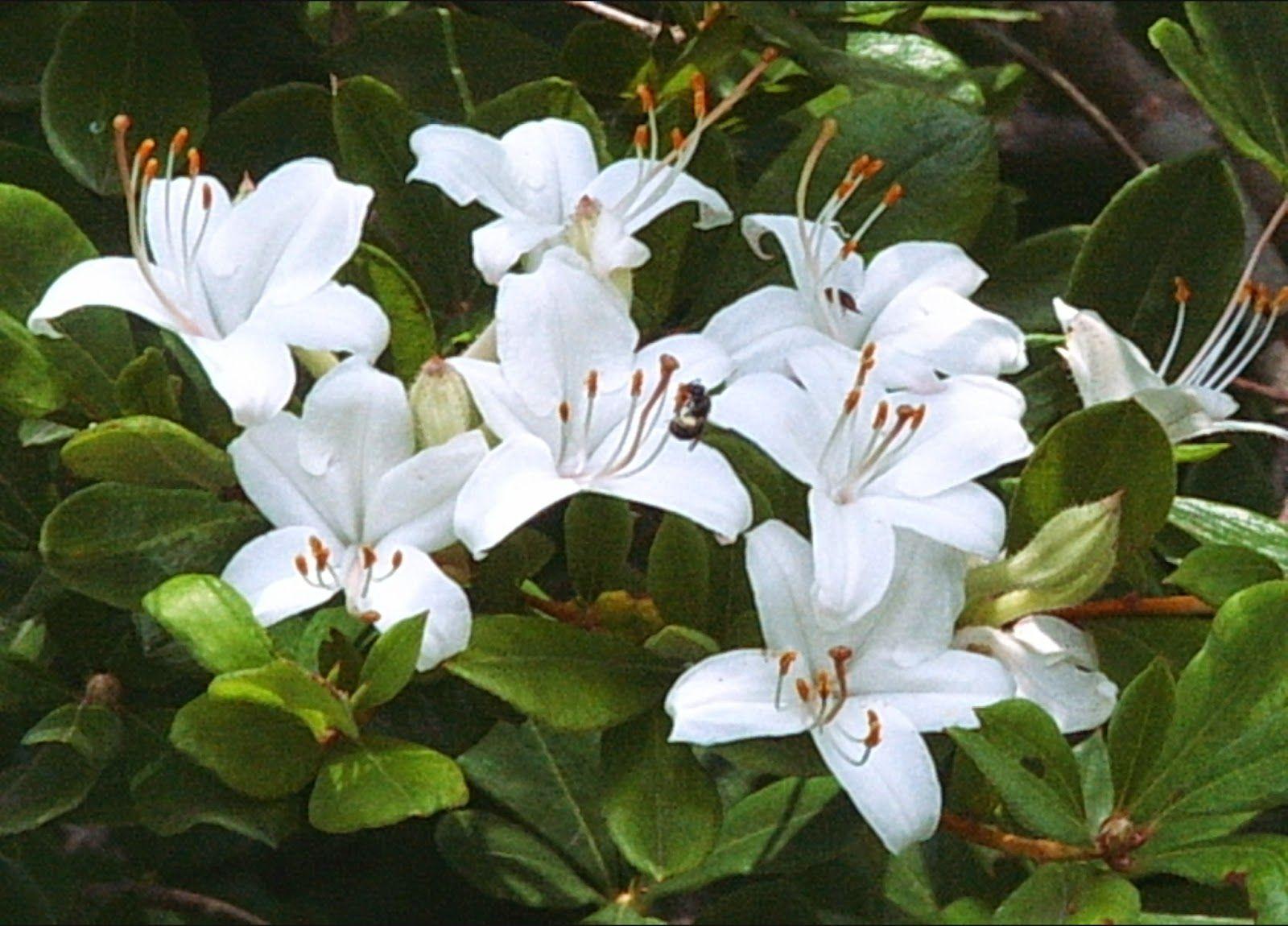 Rhododendron Viscosum Swamp Azalea Azaleas Rhododendron Shrubs