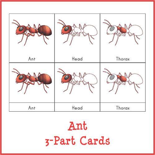 Ant 3-Part Cards   Pinterest   Ant, Montessori and Preschool activities