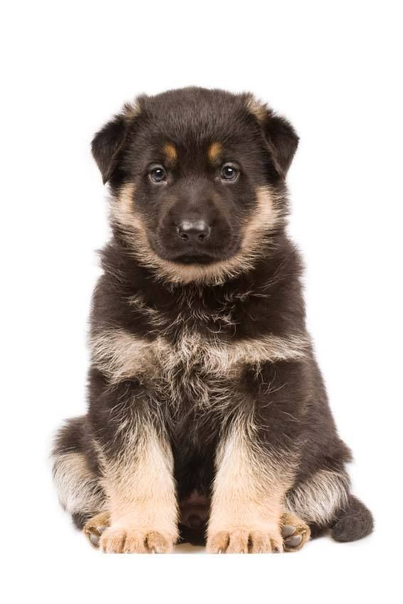 Unique German Shepherd Dog Names For Boy Or Girl German Shepherd