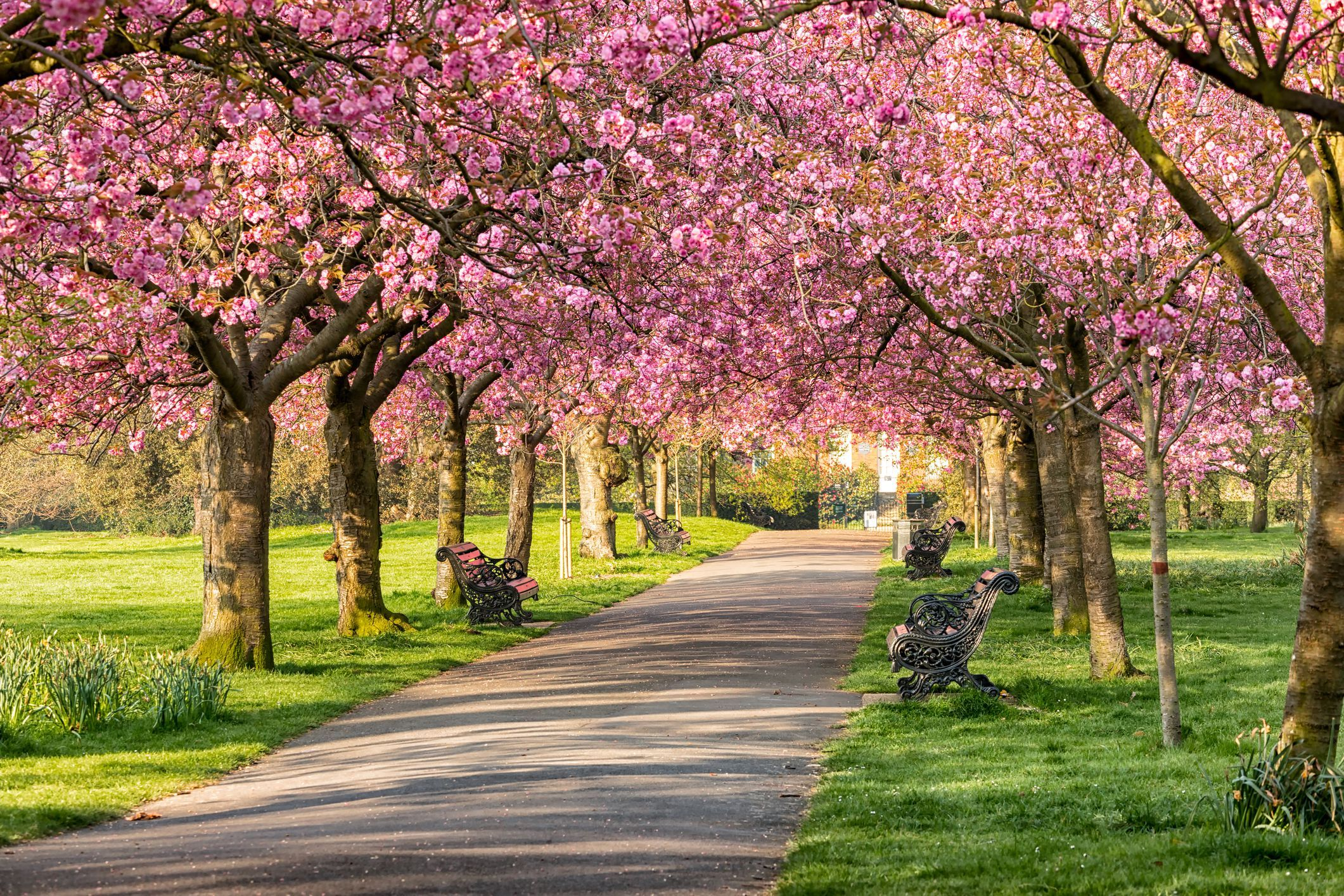 The Best Places To See Cherry Blossoms Around The World Greenwich Park Landscape Cherry Trees Garden