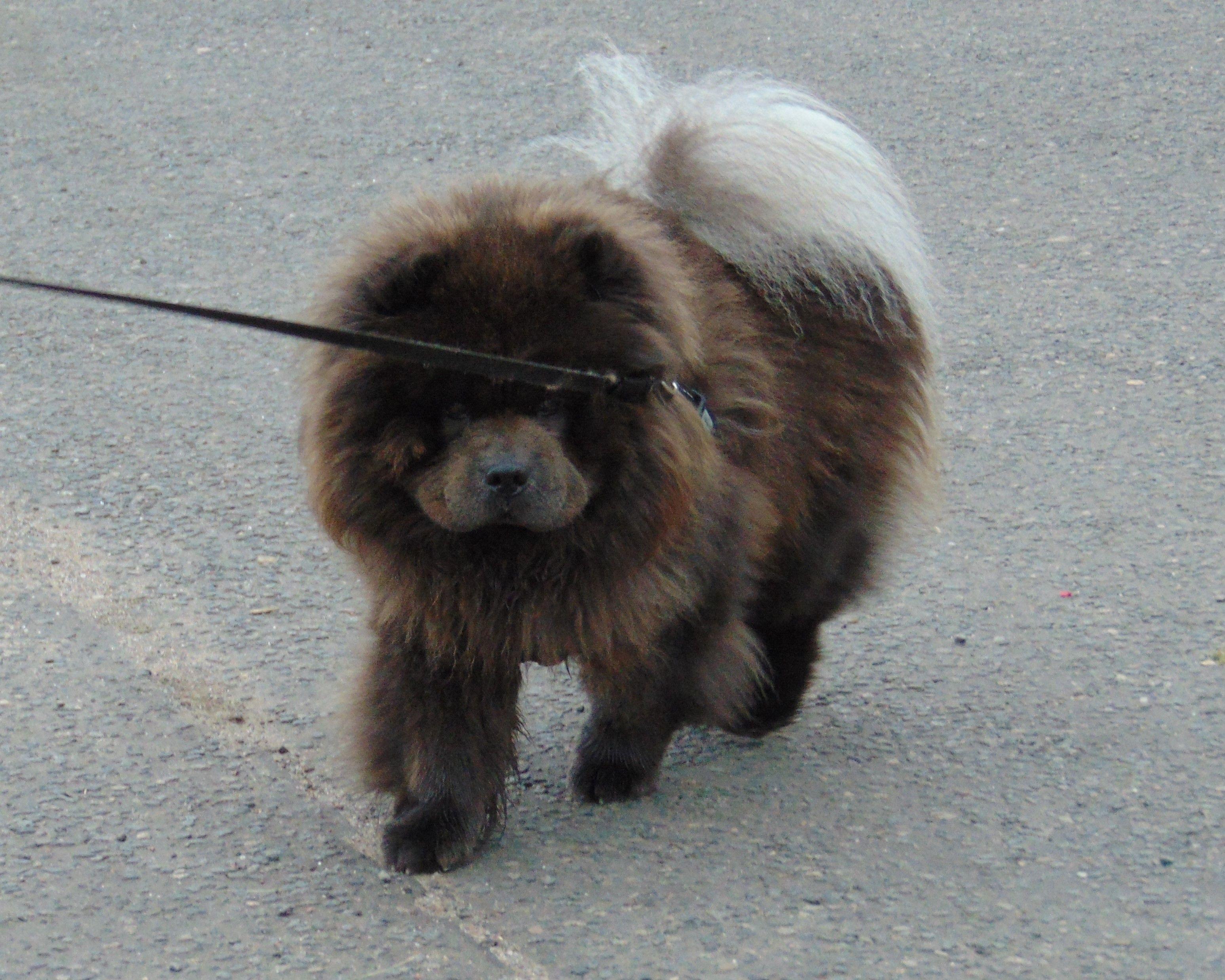 Vasili On A Walk Lion Dog