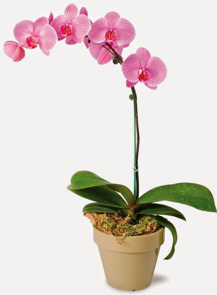 Orchid Growing Tips  Choosing, Watering, Repotting, Fertilizing and Maintenance Tips is part of Phalaenopsis orchid, Beautiful orchids, Orchid plants, Orchids, Orchid care, Orchid flower - Flower image created by Bedneyimages  Freepik com The variety and beauty found in the orchid family has made professional horticult