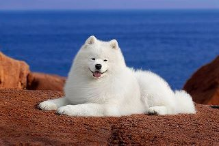 Looks just like our Sammie. They all have the same samoyed smile. Best dogs EVER :) hkw