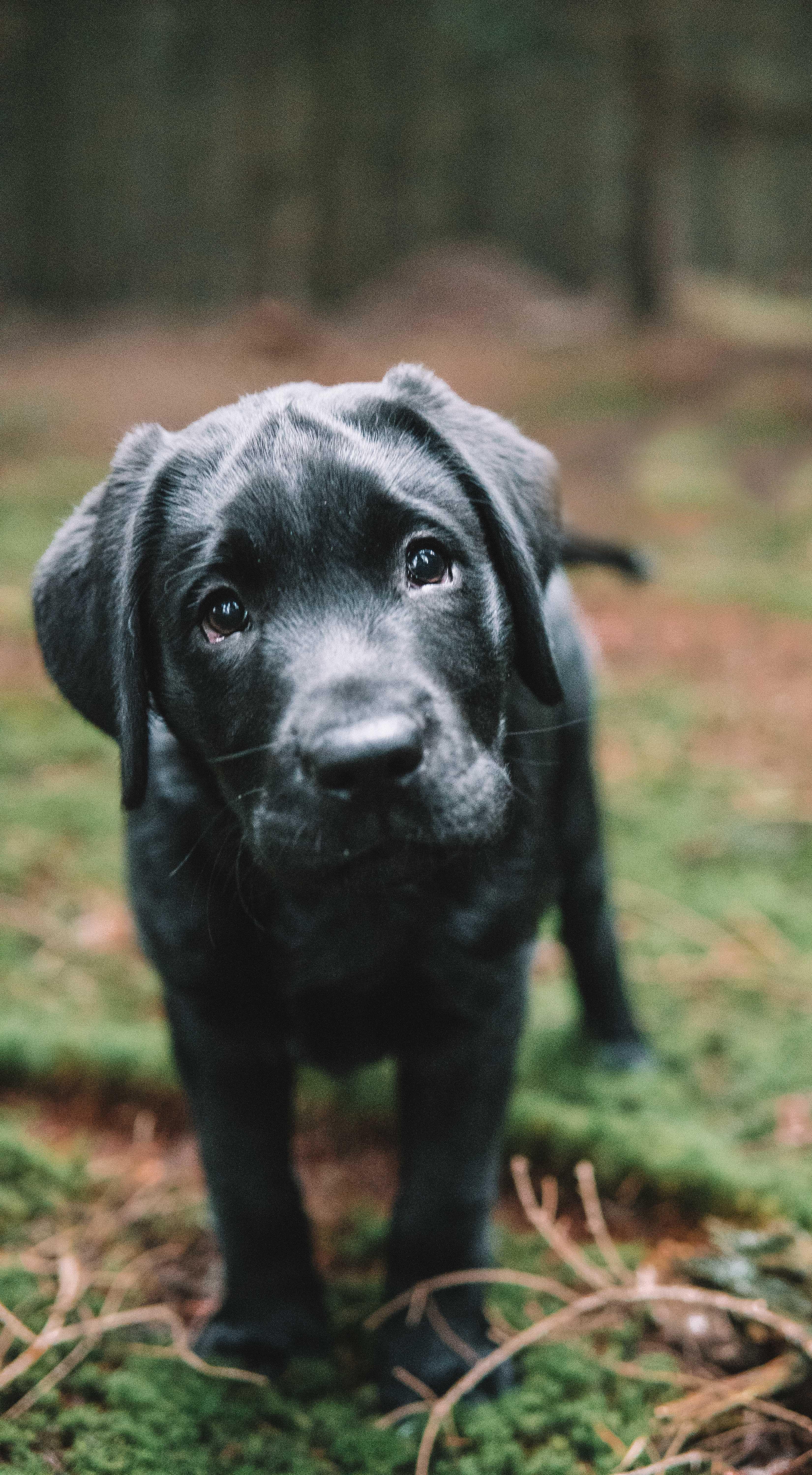 labradorpuppies labrador puppy photoshoot