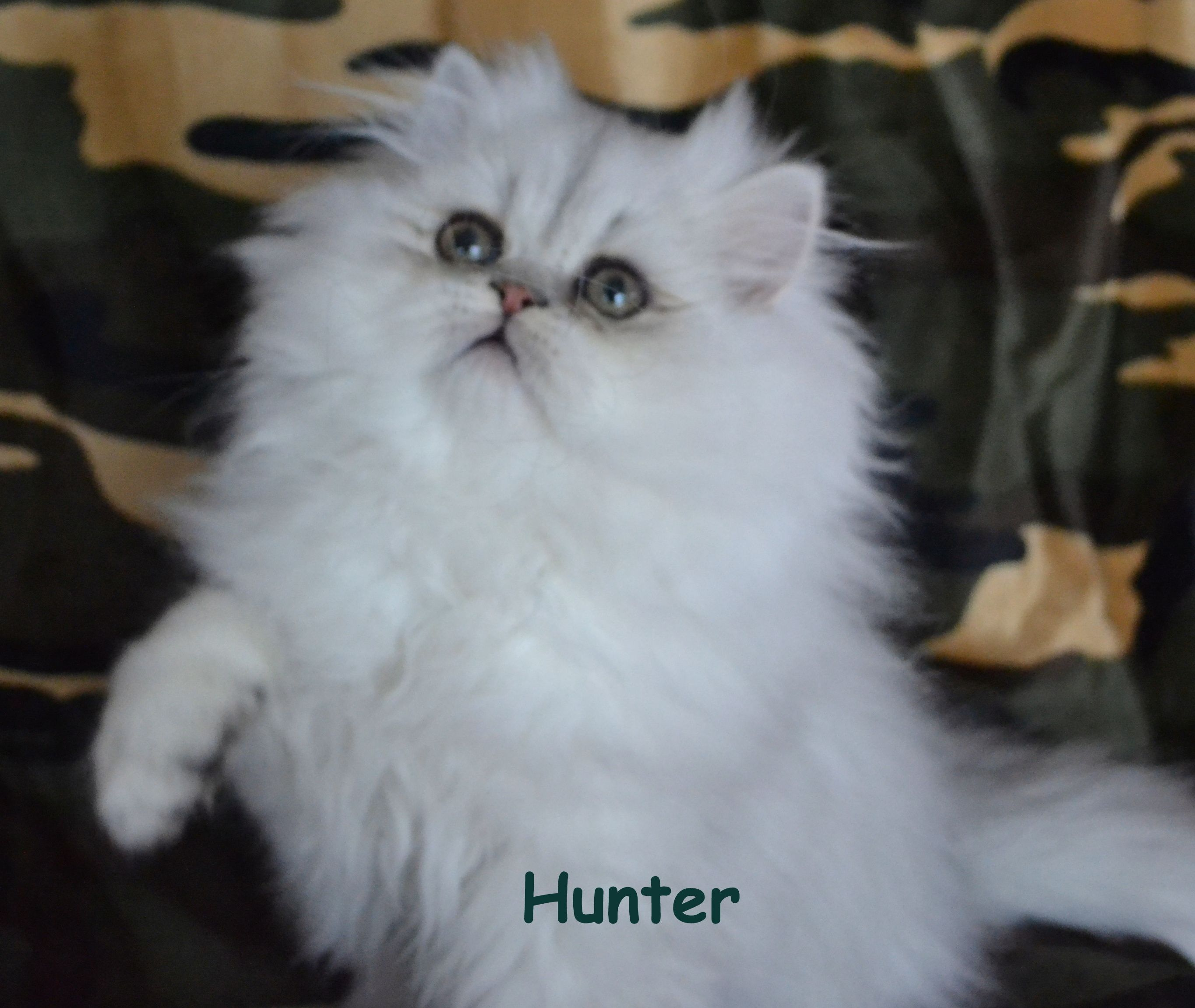 Doll face persian kittens for sale in wisconsin – Popular breeds
