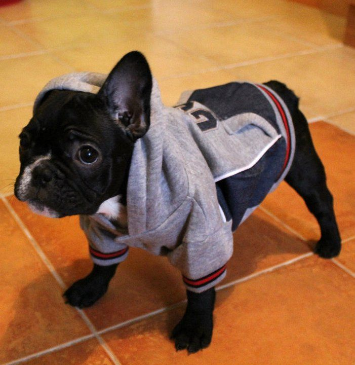 Small Gangster French Bulldog French Bulldog Puppy Puppy Love