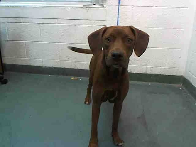 SAFE --- MIA (A1683544)I am a female brown Labrador Retriever mix.  The shelter staff think I am about 1 year old.  I was found as a stray and I may be available for adoption on 03/09/2015. — hier: Miami Dade County Animal Services https://www.facebook.com/urgentdogsofmiami/photos/pb.191859757515102.-2207520000.1425421997./938026546231749/?type=3&theater