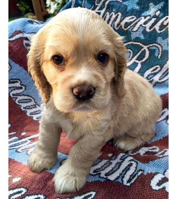 Adopt Baby Valor Adopted On Cocker Spaniel Dog Canine Dogs