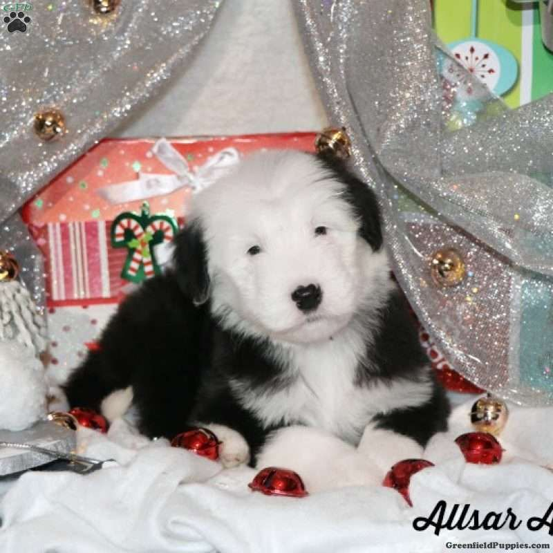Sheepadoodle Puppies For Sale Sheepadoodle Puppy Sheepadoodle Greenfield Puppies