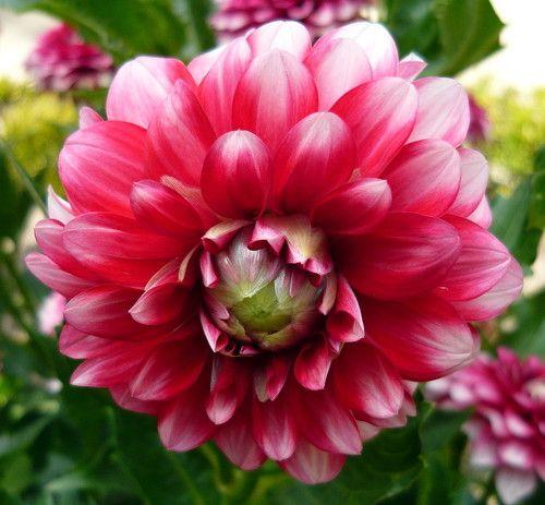 Bluesette Dwarf Dahlia 1 Size Clump Vivid Lilac Flowers Flowers Lilac Flowers Dahlia
