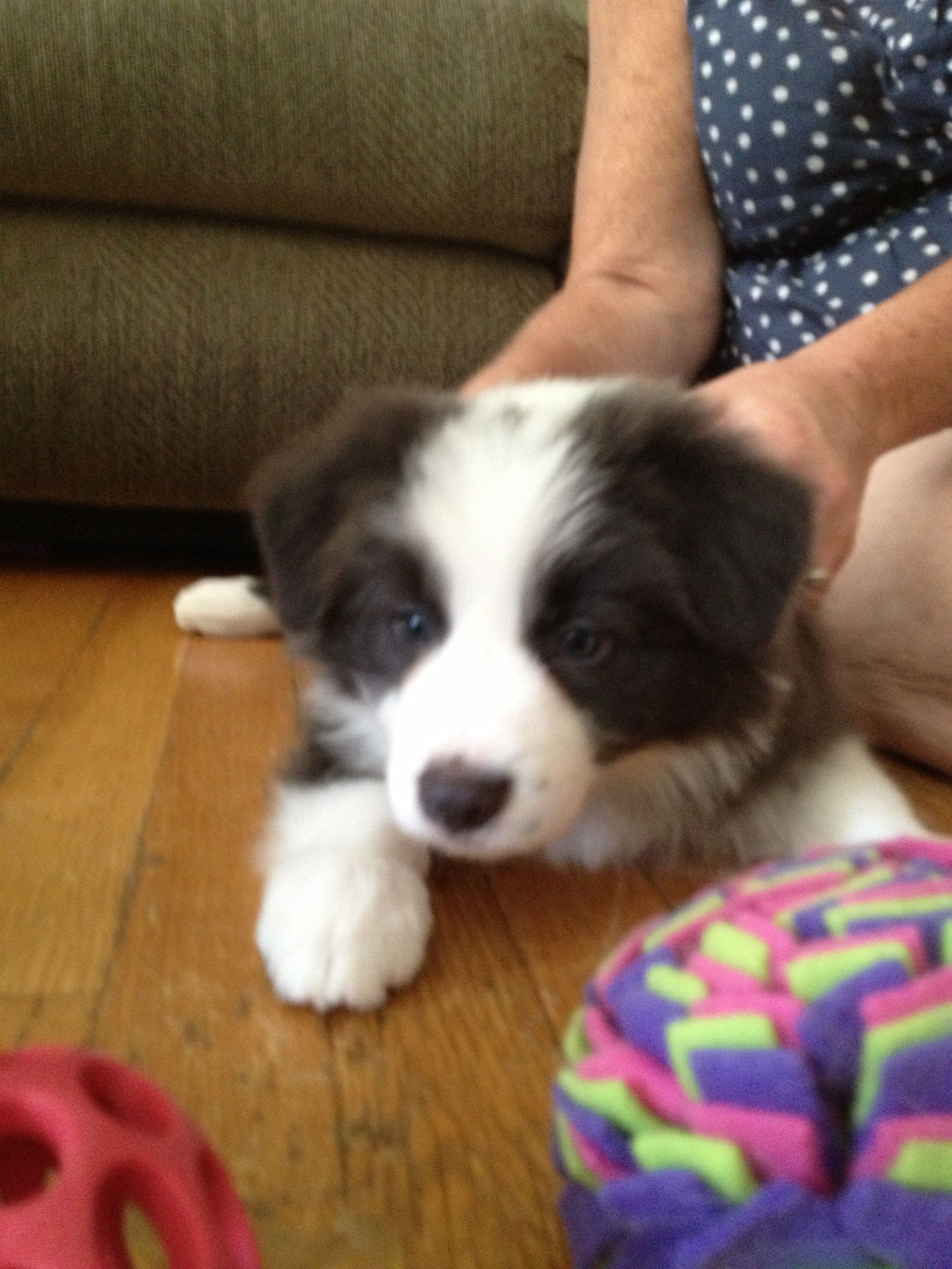 Purebred Border Collie Pups Border Collie Puppies For Sale
