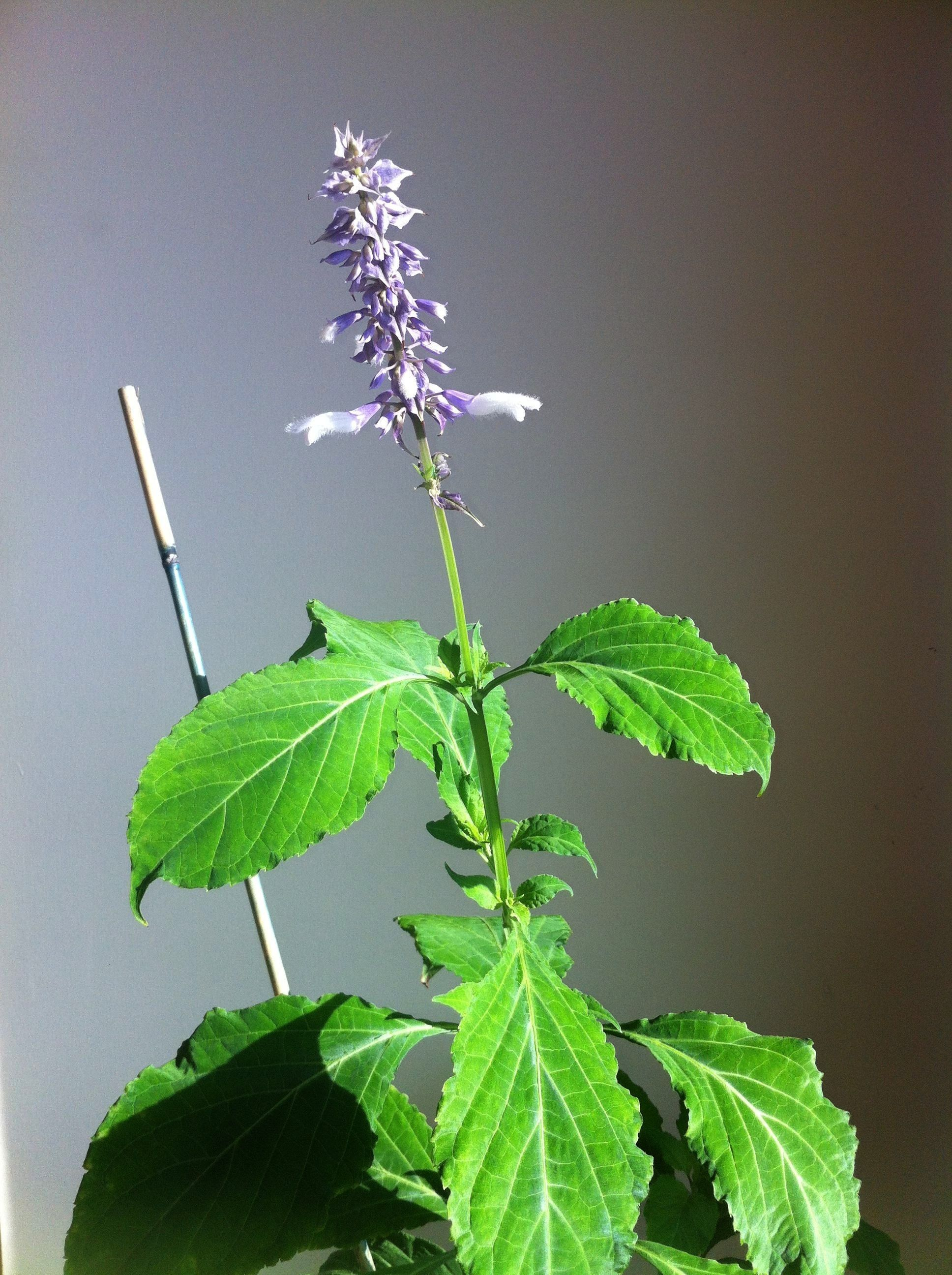 Flower this is Salvia Divinorum which produced Two viable seeds in Nov 2  Salvia Flower this is Salvia Divinorum which produced Two viable seeds in Nov 2014 planted a wee...