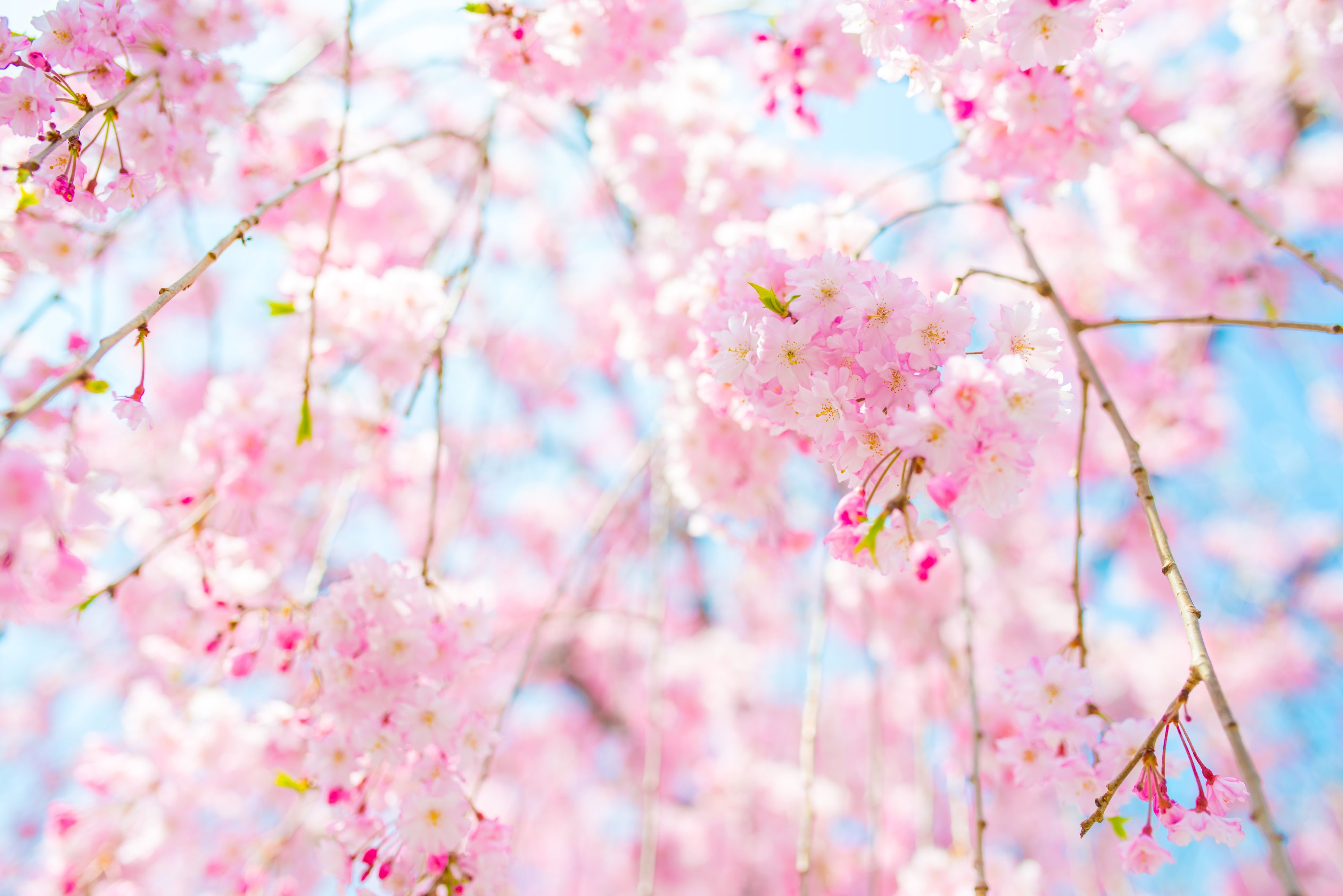 Things To Do In California Cherry Blossom Tree Pretty Flowers Pictures Blossom Trees