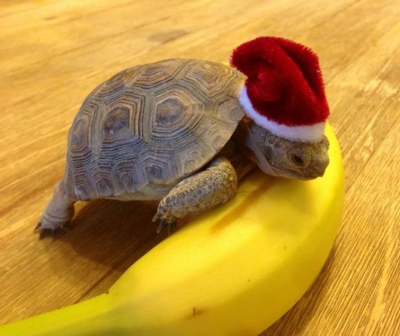 cute little turtle wearing santa s hat has a banana tortoises are