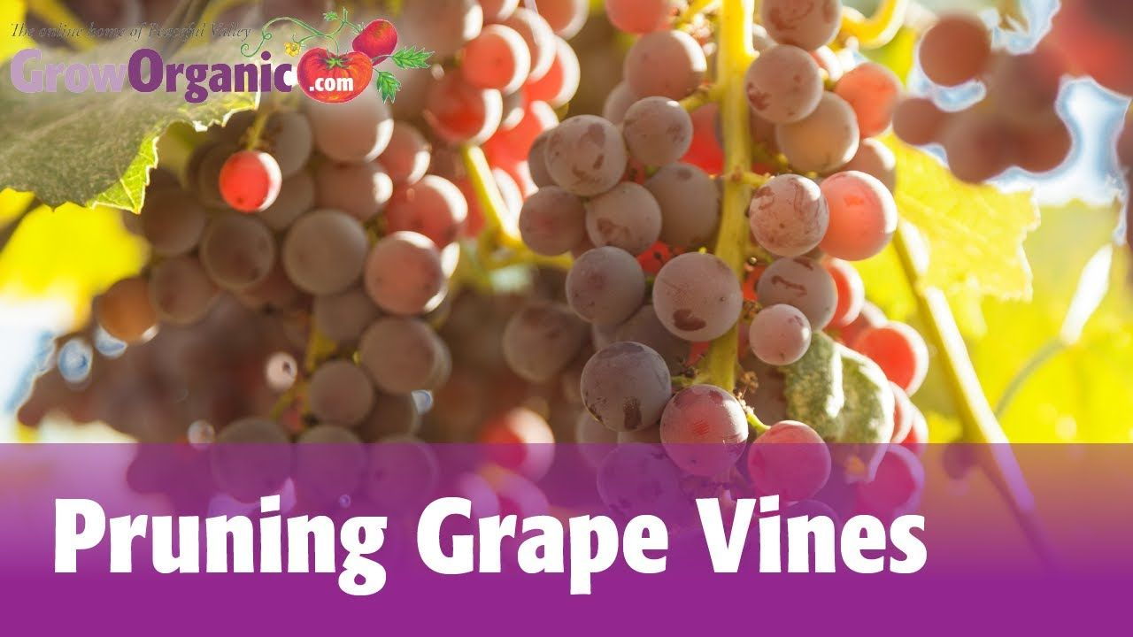 Pruning Grape Vines | Gardening Ideas | Pinterest | Grape vines ...
