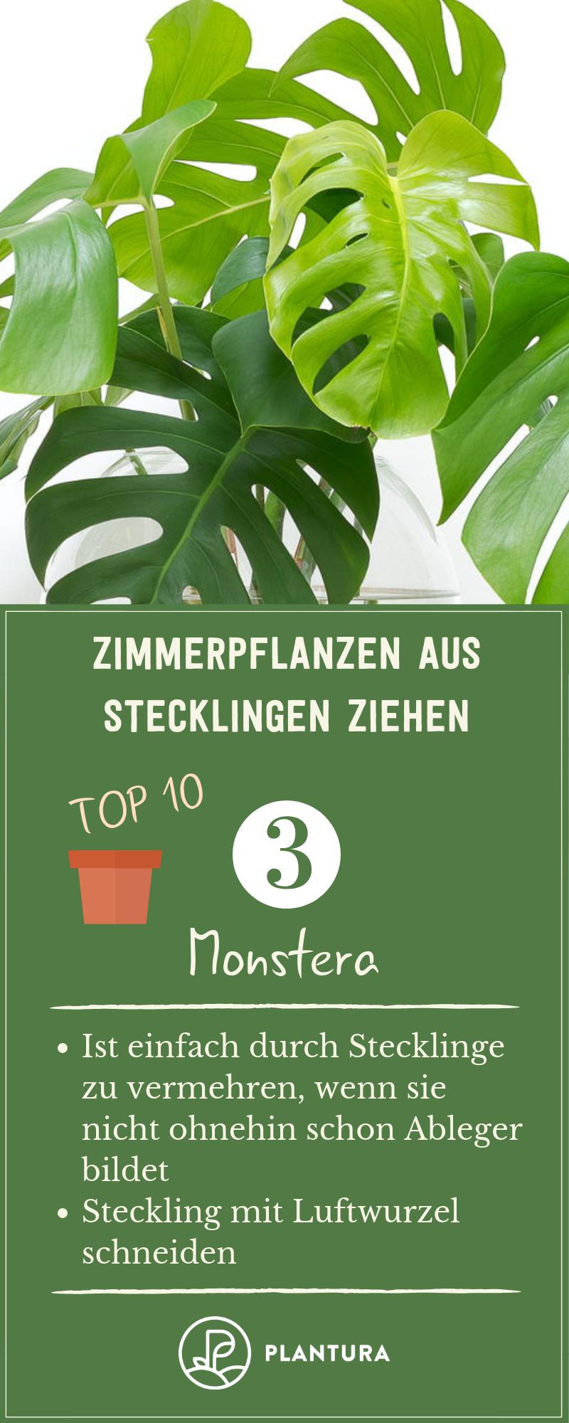 Photo of Zimmerpflanzen aus Stecklingen ziehen: Unsere Top 10 – Plantura