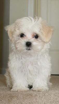 Shih Tzu/Maltese, oh my goodness this dog is too cute!