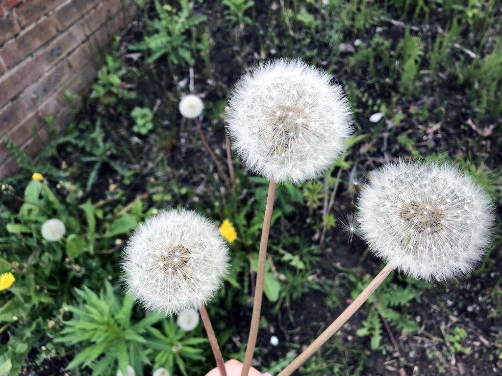 Dandelion Stock Photo Image To Represent Hay Fever In The Uk Dandelion Photo Image Hay Fever