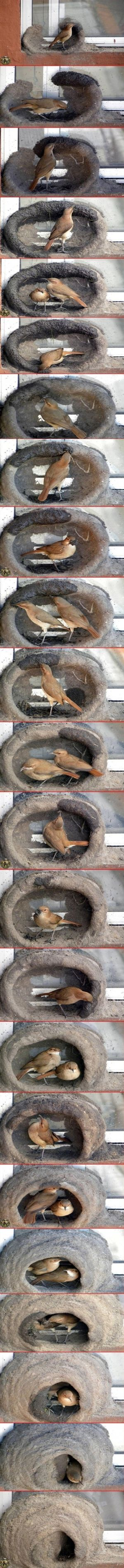 """El hornero (meaning """"oven maker""""/ """"baker"""" in Spanish) or  Furnarius can be found in Brasil, Uruguay, Paraguay, Bolivia and Argentina. The pair builds a nest made of mud in a shape similar to the old mud ovens. This wonderful sequence was photographed by some very patient person. I have personally seen this birds making their nest when I traveled through South America. by kathy"""