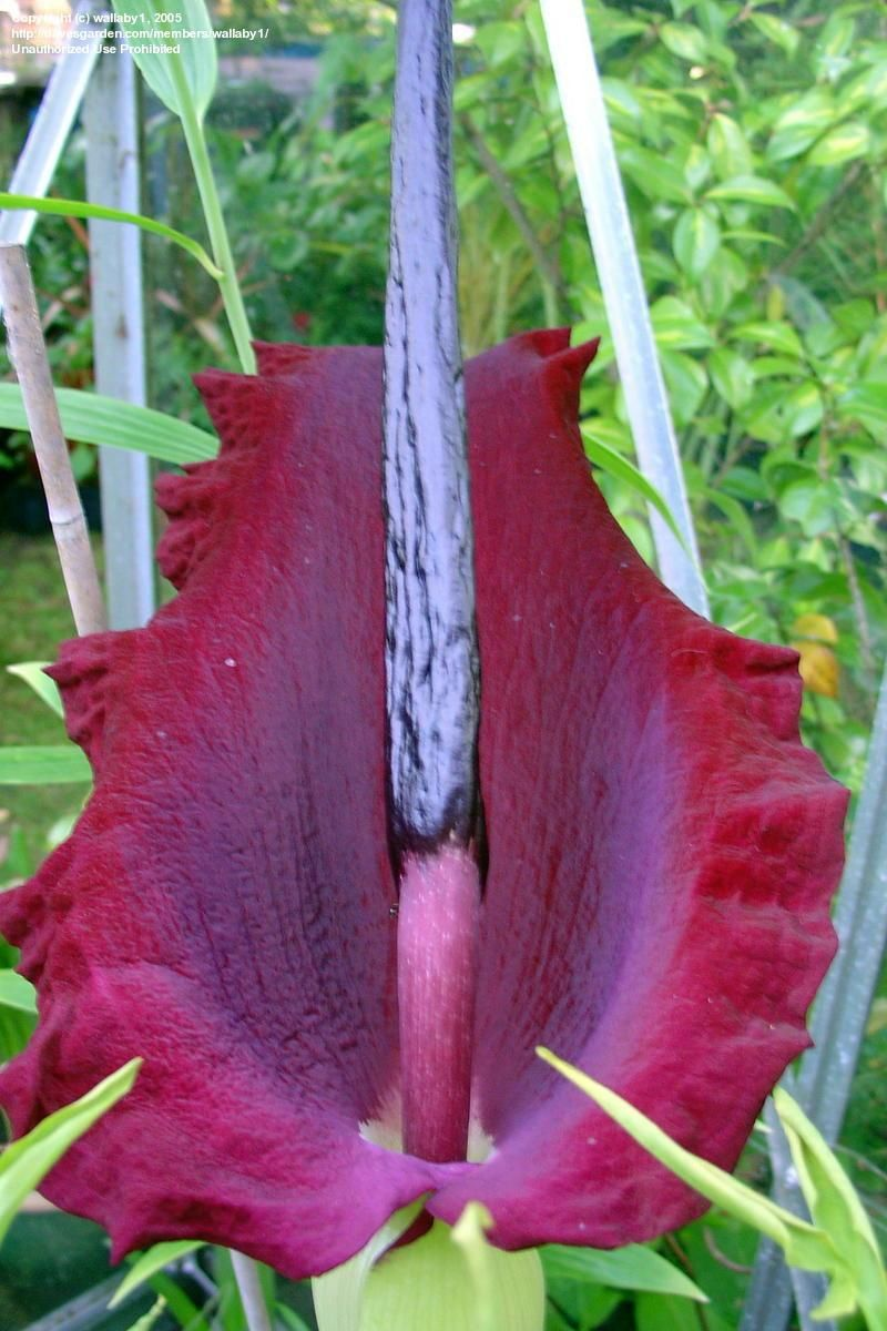 Dragon flower dragon arum voodoo lily black lily dracunculus dragon flower dragon arum voodoo lily black lily dracunculus vulgaris potted it up until i can decide where its scent will be uh most appreciated izmirmasajfo
