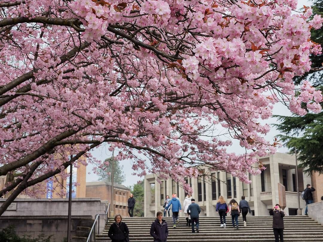 Dr Wtpho On Instagram At Uw The Quad Isn T The Only Place That Has Cherry Blossoms Enter Red Square The Link Li Light Rail Station Light Rail Instagram