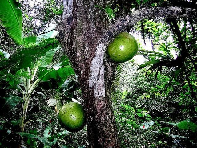 Costa Rica fruit- Rainforest Fruit tree | Fruit & Vegetables ...