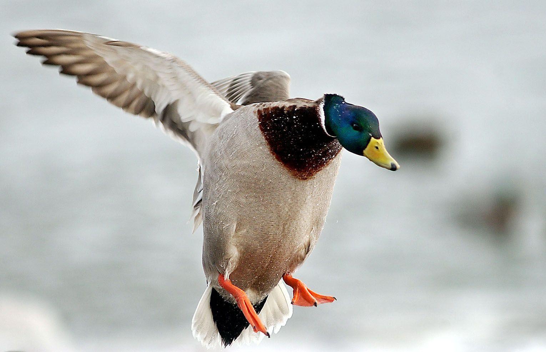 Mallard duck shower curtain - T1 20 04 Derek Neas Neasduckc11 Mallard Duck Flying Near Duluth
