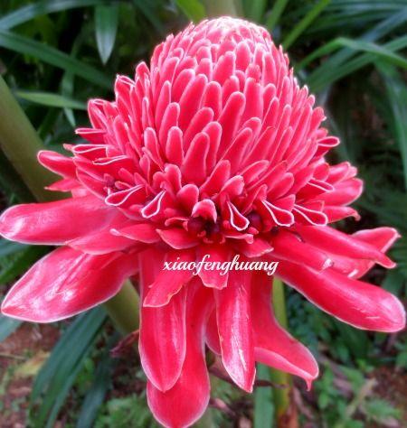 Bunga Kantan Recipe Torch Ginger Flower Edible Flowers Flowers